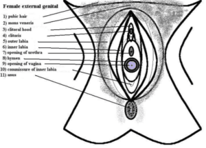 illustration-of-parts-of-the-vagina