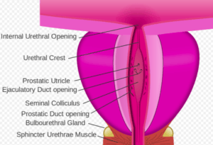 drawing-of-parts-of-the-urethra